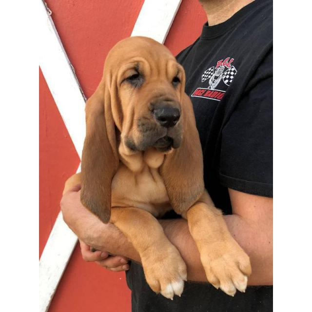 Bloodhound puppies ready to leave in Wisconsin USA