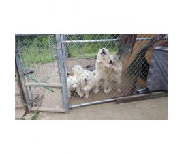 AKC Great Pyrenees Male pups for Sale