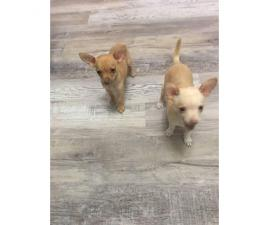 2 Chihuahuas for rehoming