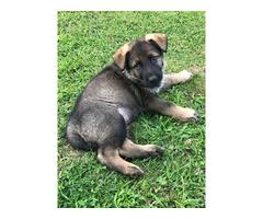 German shepherdsPuppies $800