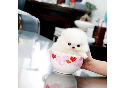 Top Quality Mini Teacup Size Pomeranian Puppies For Sale