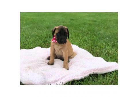 Purebred English mastiff puppy for sale