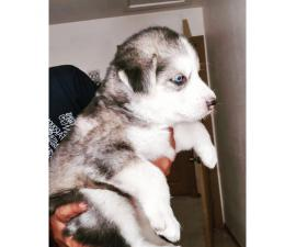 5 Siberian puppies ready for a new home