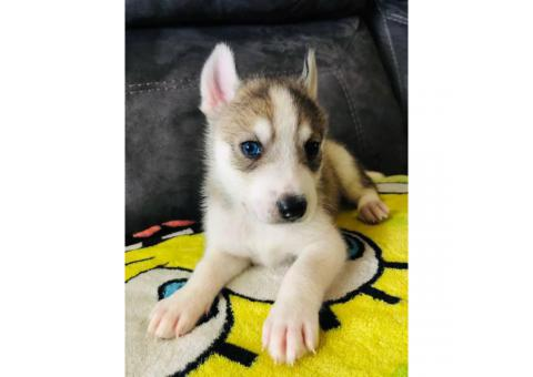 8 Huskies for Sale