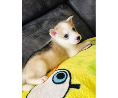 8 Huskies for Sale