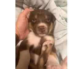 5 females and 1 male Border collie mix puppies