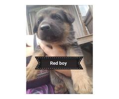 6 Unpapered Pure bred German Shepherd puppies