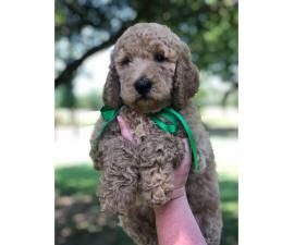 AKC reg male Standard Poodle Puppies