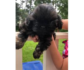 Purebred shih tzu pups up for adoption