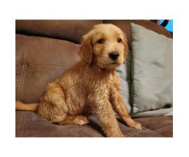 3 Golden Retrievers looking for loving homes