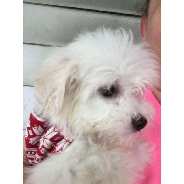Two male Maltese puppies in Mansfield, Ohio - Puppies for ...