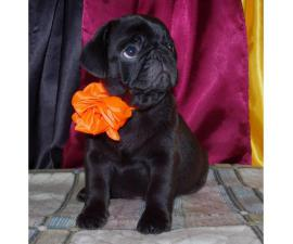 Gorgeous fawn & black Pug puppies