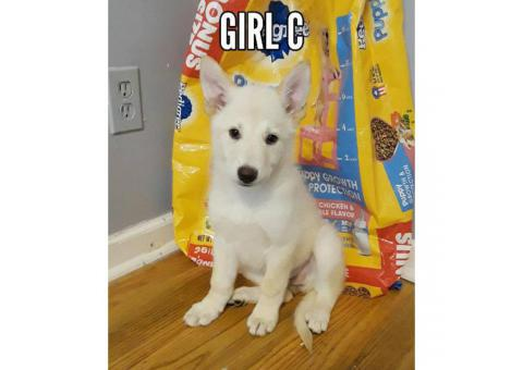 Purebred All White German Shepherds are 8 weeks old