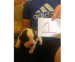 6 Saint bernard puppies left