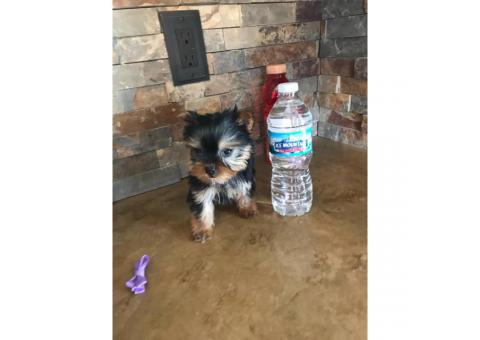 13 weeks old Female Yorkie Puppy