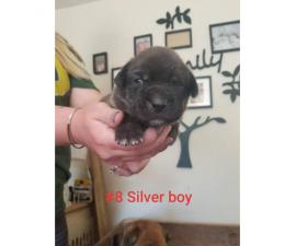 8 Boxador Puppies for Sale