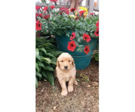 Golden Retriever Puppies 3 Girls, 6 boys