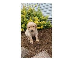 Golden Retriever Puppies 3 Girls, 6 boys