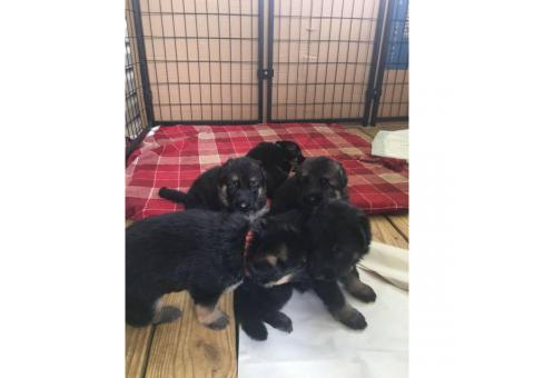 7 Sweet German Shepherds Babies