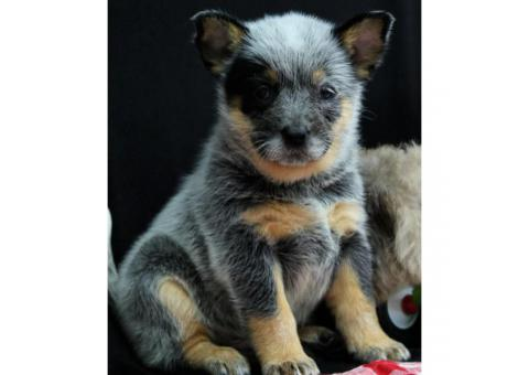 Akc Reg Australian Cattle Dog Puppies