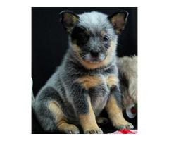Akc Reg Australian Cattle Dog Puppies