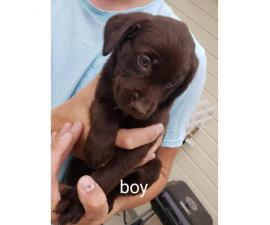 4 chocolate Lab puppies remaining