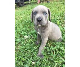 6 AKC cane corso puppies to rehome