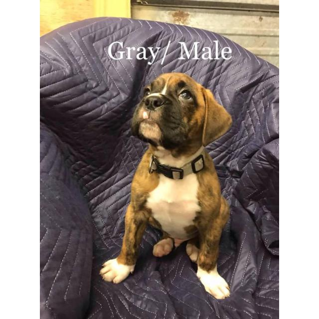 Full blooded boxer puppies for sale in missouri buick