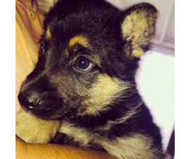 Adorable & Healthy GSD puppies ready for new Master