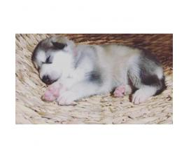 Alaskan Malamutes - 2 females left