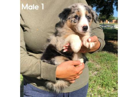 4 Gorgeous Male Australian Shepherd Puppies