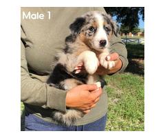 4 Gorgeous Male Australian Shepherd Puppies