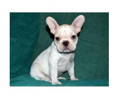 AKC Male English Bulldog Puppy