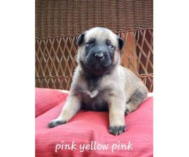 Belgian Malinois purebred puppies