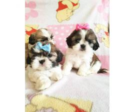 3 Teacup shih tzu pups for rehoming