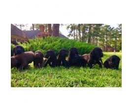 Pointers / Labs Mixed Pups for Sale