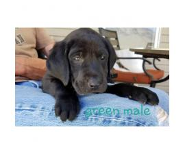 Adorable purebred Chocolate and Black lab puppies