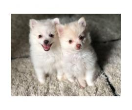 3 Adorable Pom Puppies