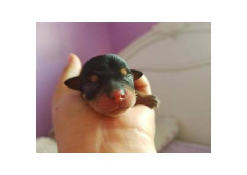 Chihuahua purebred male puppy for adoption