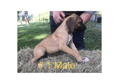 For adoption CKC registered Great Dane puppies