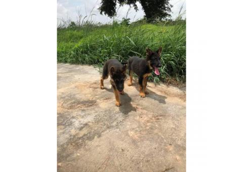 Black and Tan  Akc German shepherd puppies