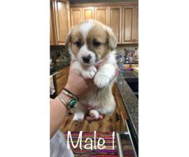 3 Adorable Red / White Male Welsh Corgi