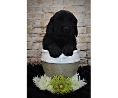 8 week old female AKC Newfie puppy