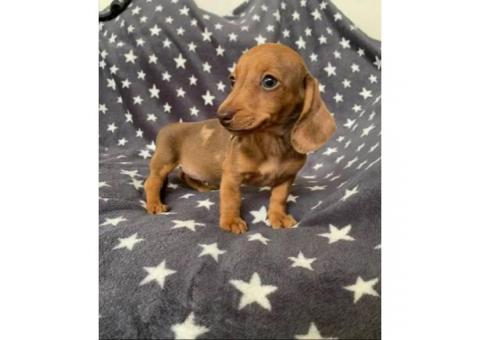 Dachshund puppies Registered AKC
