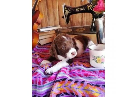 3 AKC Springer Spaniel puppies for sale