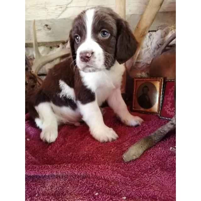 3 Akc Springer Spaniel Puppies For Sale In Denver Colorado Puppies For Sale Near Me
