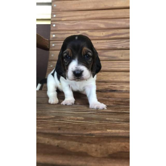 4 Females Basset Hound Puppies In Greenville North Carolina Puppies For Sale Near Me