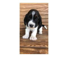 4 Females Basset Hound Puppies