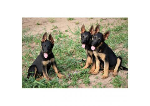 AKC German Shepherd Puppies ready to go home