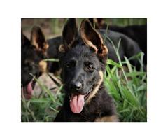 AKC German Shepherd Puppies ready to go home